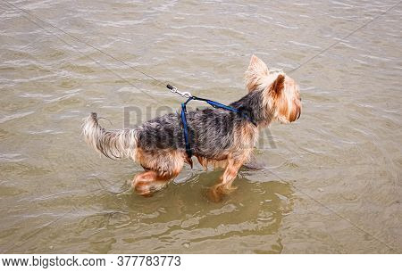 Dog Yorkshire Terrier Wet Stands In The Water Of The Lake On A Leash.dog Yorkshire Terrier Wet Stand