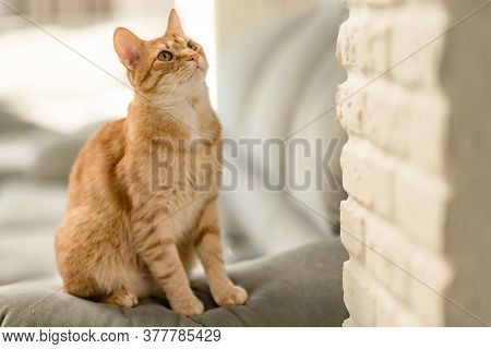 Closeup Portrait Of A Charming Young Domestic Ginger Tabby Cat Sitting At Home On The Couch And Look