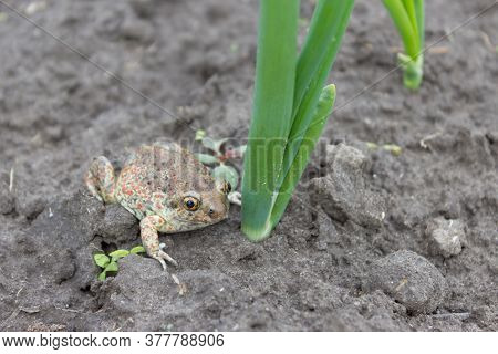 Frog, An Earthen Toad Sits On The Ground Near A Green Onion