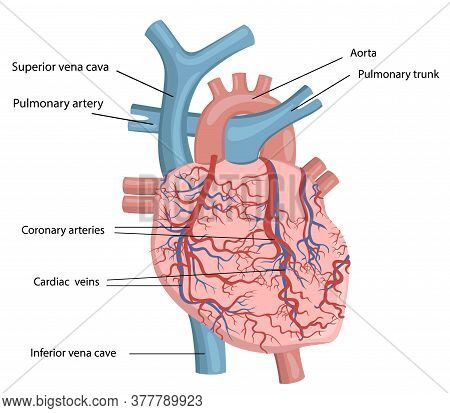 Vector Illustration Of Human Heart Structure. Picture Of A Heart