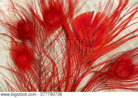 Red peacock feathers on a sheet of Egyptian papyrus