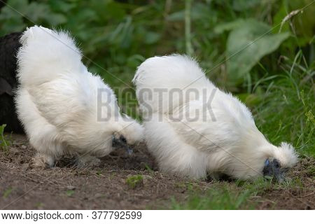 3 - In A Garden, Two Silkie Pet Bantam Chickens Forage For Food And Grubs Amongst Grass And Mud.