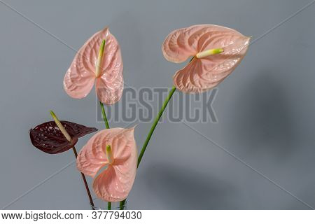 Beautiful Pink And Dark Red Blossoming Anthurium Flowers On Gray Background, Close-up View