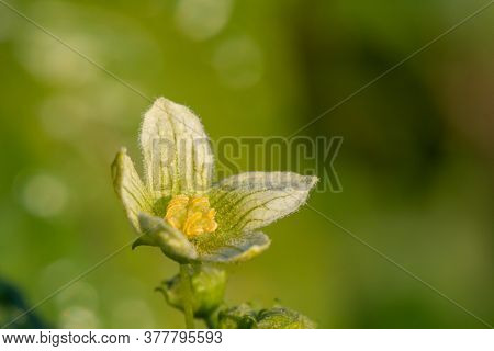 Macro Shot Of A White Bryony (bryonia Alba) Flower