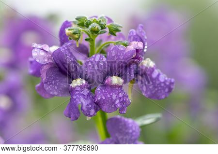 Close Up Of Purple Nemesia Flowers In Bloom