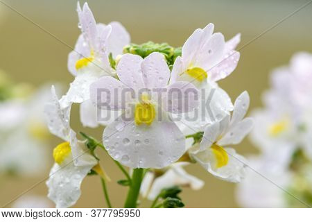 Macro Shot Of Wisley Vanilla Nemesia Flowers In Bloom