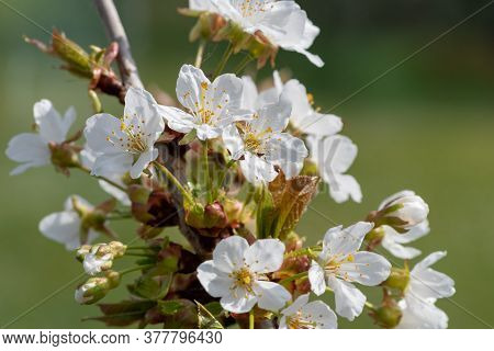 Close Up Of White Cherry Blossom In Bloom