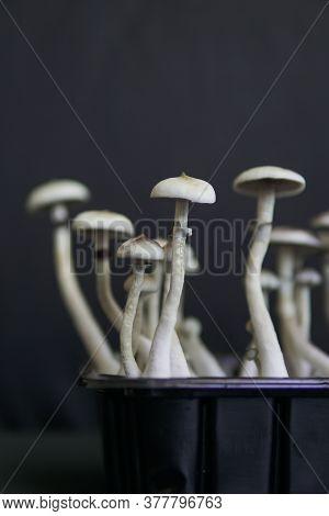 Fungi Hallucinogen. Hallucinogenic Psychedelic Drug. Growing Albino A Strain.