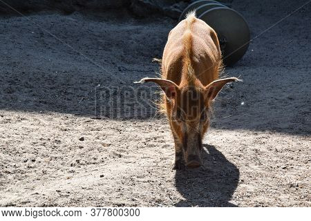 Walking Red Boar With Big Ears And Withers. Berlin. Germany