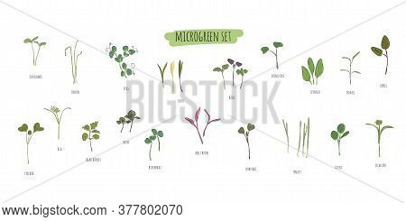 Vector Set Of Microgreens. Herbs - Pea, Sunflower, Onion, Peas, Corn, Basil, China Rose, Spinach, Fe