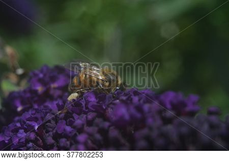 Bumble Bee Honey Bee On Buddleja Davidii Black Knight - Buddleia - Butterfly Bush Collecting Pollen