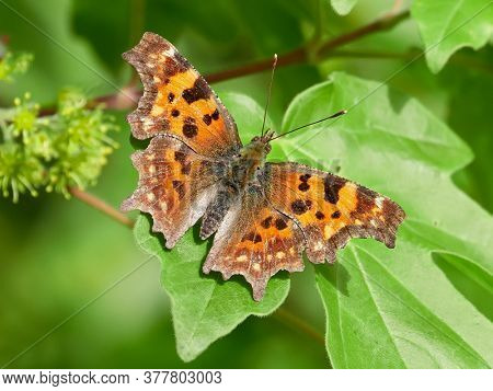 Comma butterfly (Polygonia c-album) perched on green leaf