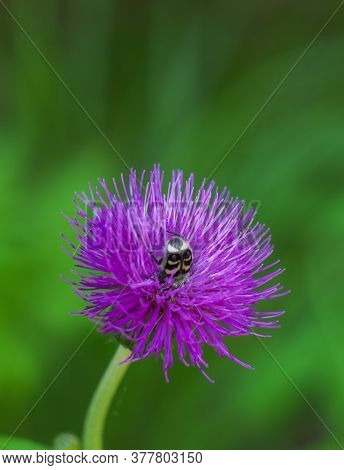 Floral Blue-purple Background. Purple Prickly Thistle Flower.