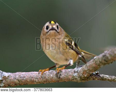 Golden-crowned Kinglet in natural habitat (regulus regulus)