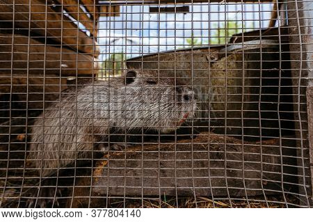 Gray Nutria Myocastor Coypus In The Cage At The Farm