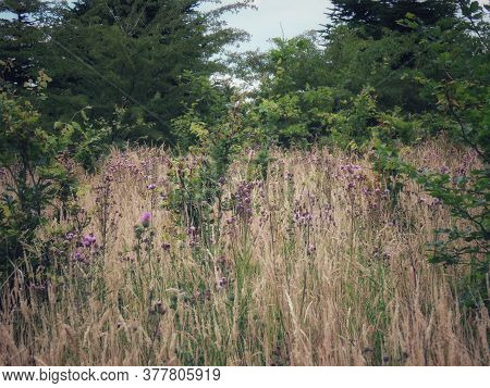 Canadian Thistle - Also Creeping Or Field Thistle - Flowers In A Dry Meadow. Invasive Weed In Us