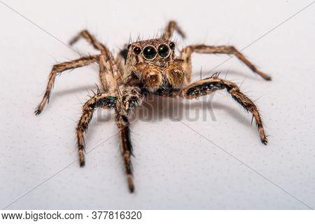 Small Hairy Creepy Jumping Spider Close Up.