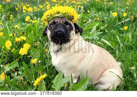 Beautiful Pug Dog With A Wreaths Of Yellow Flowers Dandelions On His Head On A Meadow