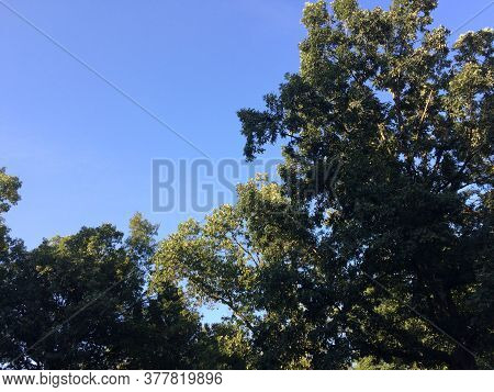 Green Trees With Blue Sky Looking Up On A Bright Sunny Day With Breeze