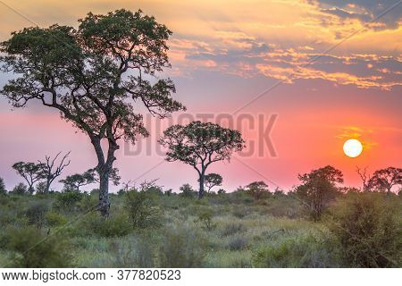 African Savanna Plain Overview With Trees Bushes And Grass At Sunset In Kruger National Park South A