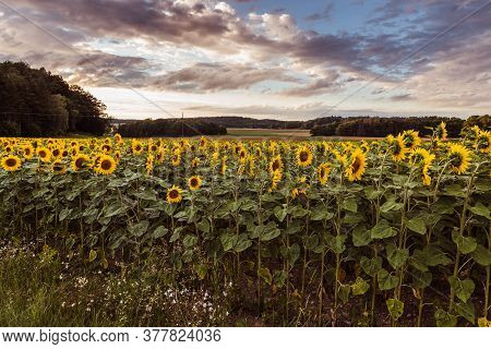 Scenic View Of Sunflower Field (helianthus) During Sunset
