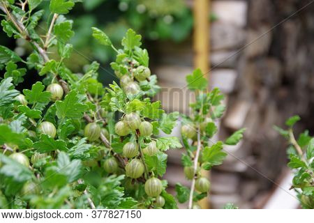 Bunch Of Ripe Gooseberries On A Branch. Fresh Green Gooseberries. Preparation Of Firewood For The Wi