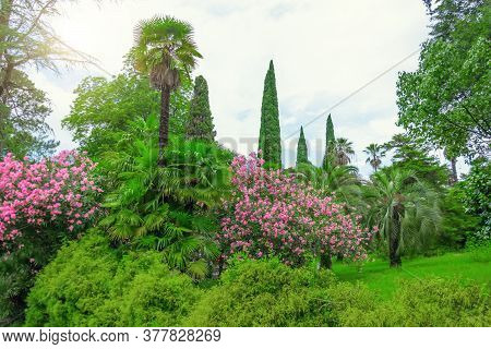 Summer Park Of Mediterranean Climate With Tall Cypress Palms And Blooming Oleander
