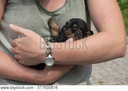 Jack Russell Terrier Pup Lies In The Arms Of Woman