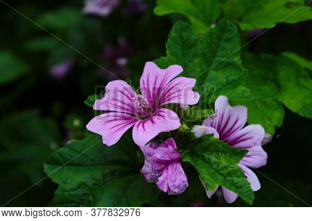Malva Sylvestris Zebrina Or Zebra Hollyhock Is Vigorous Plant With Showy Flowers Of Bright Mauve-pur