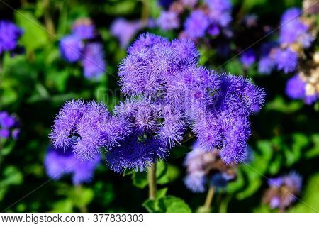 Large Group Of Blue Flowers Of Ageratum Houstonianum Plant Commonly Known As Loss Flower, Blue Mink,