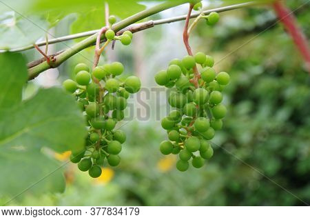 Young Green Unripe Grapes Hangs On A Bush With Green Leaves. Grape Ripening. Viticulture.