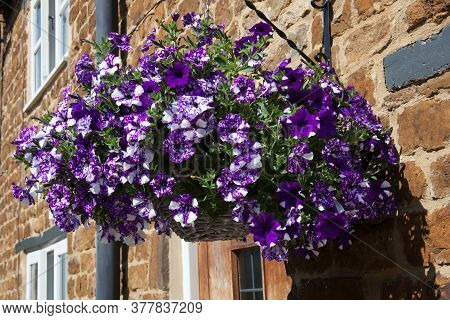 A Hanging Basket With Large White Petunia A Species Of Nightshade