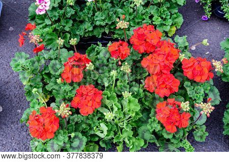 Many Red Pelargonium Flowers (commonly Known As Geraniums, Pelargoniums Or Storksbills) And Blurred