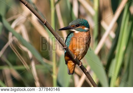 Common Kingfisher, Alcedo Atthis. Young Bird Sits On A Cane Stalk Above The River