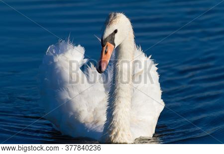 Mute Swan, Cygnus Olor. An Adult Bird Floats On The River, Beautifully Illuminated By The Morning Su