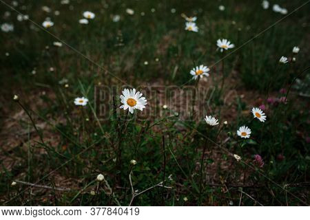 White Chamomile In The Field, Spring Mood.
