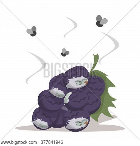 Fresh Sweet Grape Becomes Rotten Vector Isolated