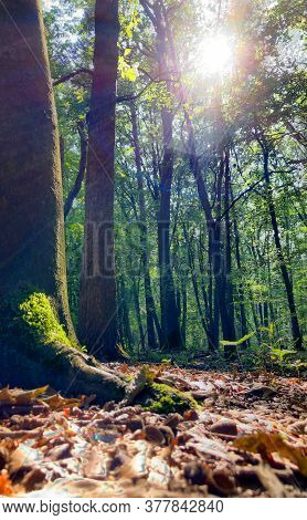 Tall Trees With Green Leaves Along Forest Path With Wood Corridor. High Quality Photo