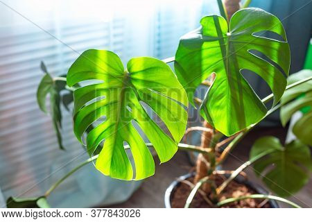 A Beautiful Monstera Flower By A Window.home Garden.monstera Deliciosa Or Swiss Cheese Plant In A Po