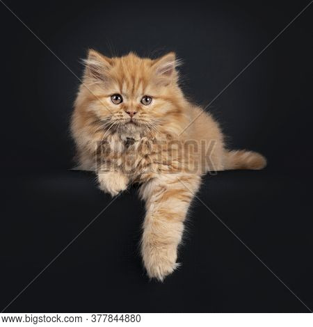 Fluffy Solid Red British Longhair Kitten, Laying Down With Paw Relaxed Over Edge. Looking Towards Ca