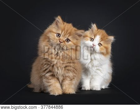 Fluffy Duo Of British Longhair Kittens, Standing Beside Each Other. Looking Towards Camera With Cute