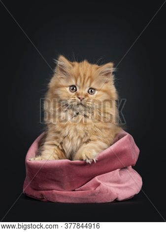 Fluffy Solid Red British Longhair Kitten, Sitting In Pink Velvet Bag. Looking Towards Camera. Isolat