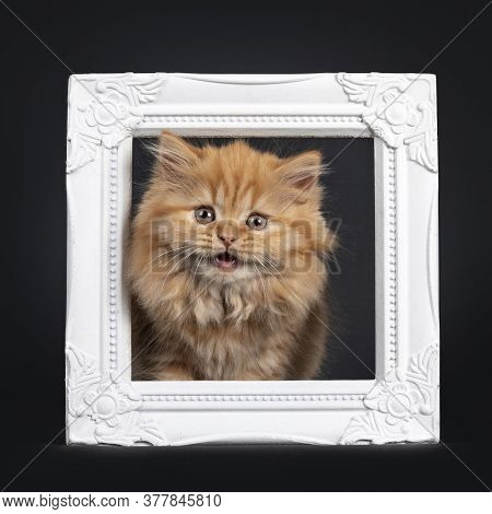 Fluffy Solid Red British Longhair Kitten, Standing With Head Through White Photoframe. Looking Towar