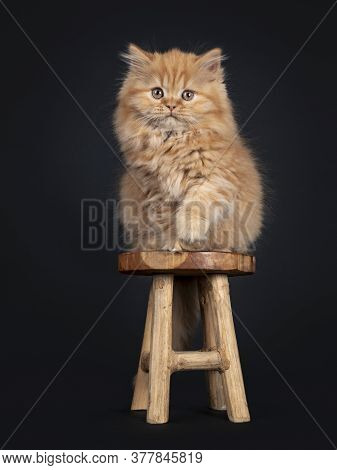 Fluffy Solid Red British Longhair Kitten, Sitting On Little Wooden Stool. Looking Towards Camera. Is
