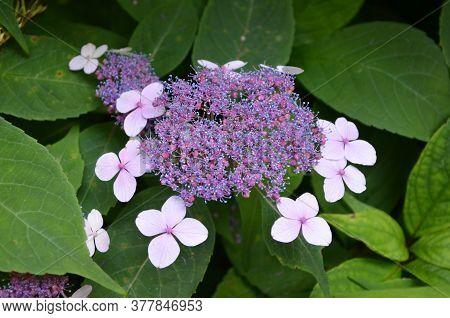 Shrub With Light Pink Flowers Of Viburnum Opulus Plant, Known As Guelder Rose, Water Elder, Cramp Ba