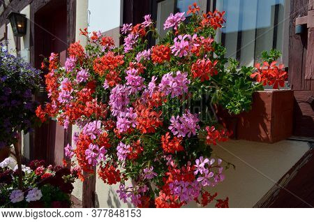 Group Of Vivid Pink And Red Pelargonium Flowers, Known As Geraniums Or Storksbills And Fresh Green L