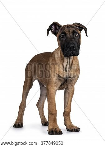 Handsome Boerboel / Malinois Crossbreed Dog, Standing Side Ways. Head Up, Looking Straight To Camera