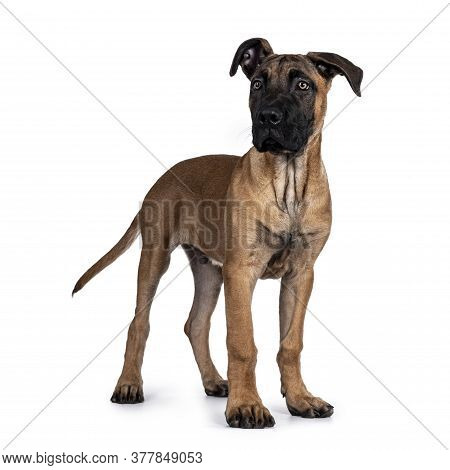 Handsome Boerboel / Malinois Crossbreed Dog, Standing Side Ways. Head Up, Looking Beside Camera With