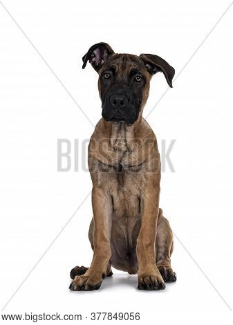 Handsome Boerboel / Malinois Crossbreed Dog, Sitting Facing Front. Head Up, Looking At Camera With M