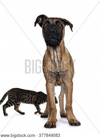Handsome Boerboel / Malinois Crossbreed Dog, Standig Facing Front. Head Up, Looking At Camera With M